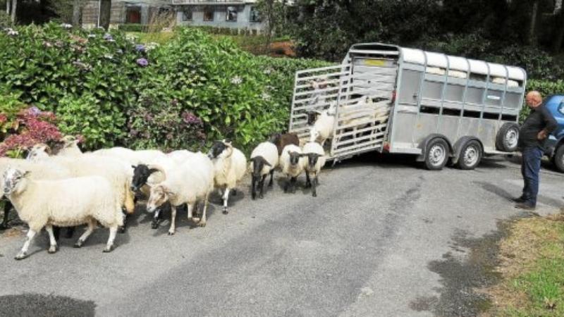 Ecopaturage – les moutons sont de retour